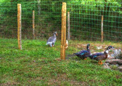 Les canards de la Bastide d'Albignac