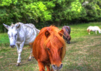 Les poneys de la bastide d'Albignac Tarn